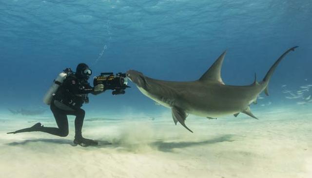 banda shark