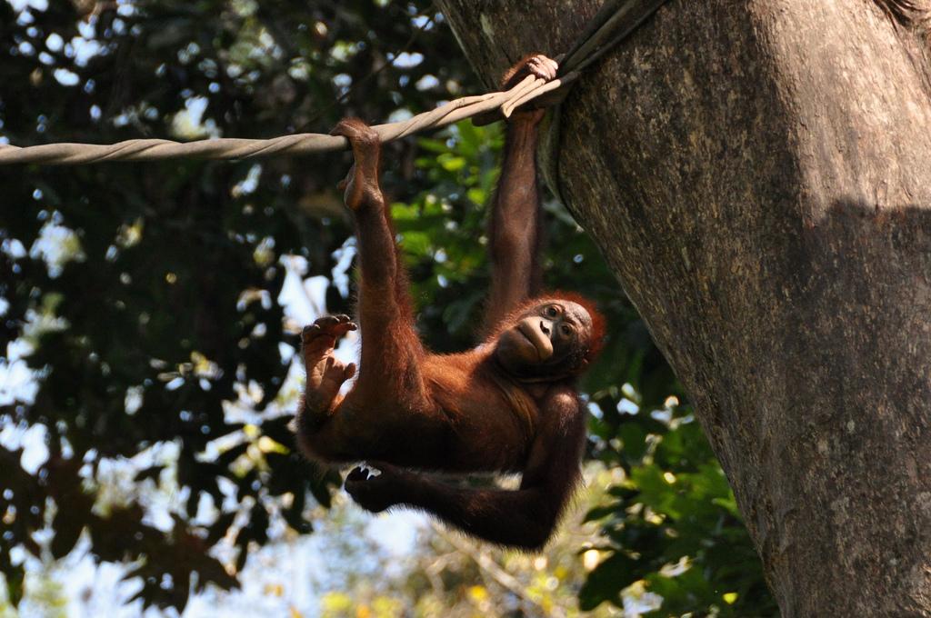An orangutan at the rehabilation centre