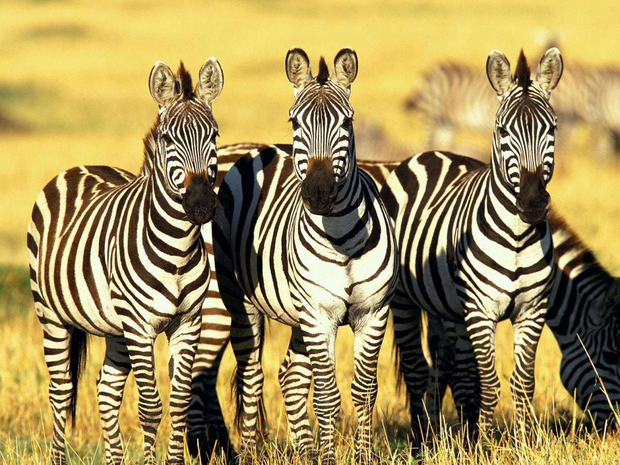 africa-zebra-1