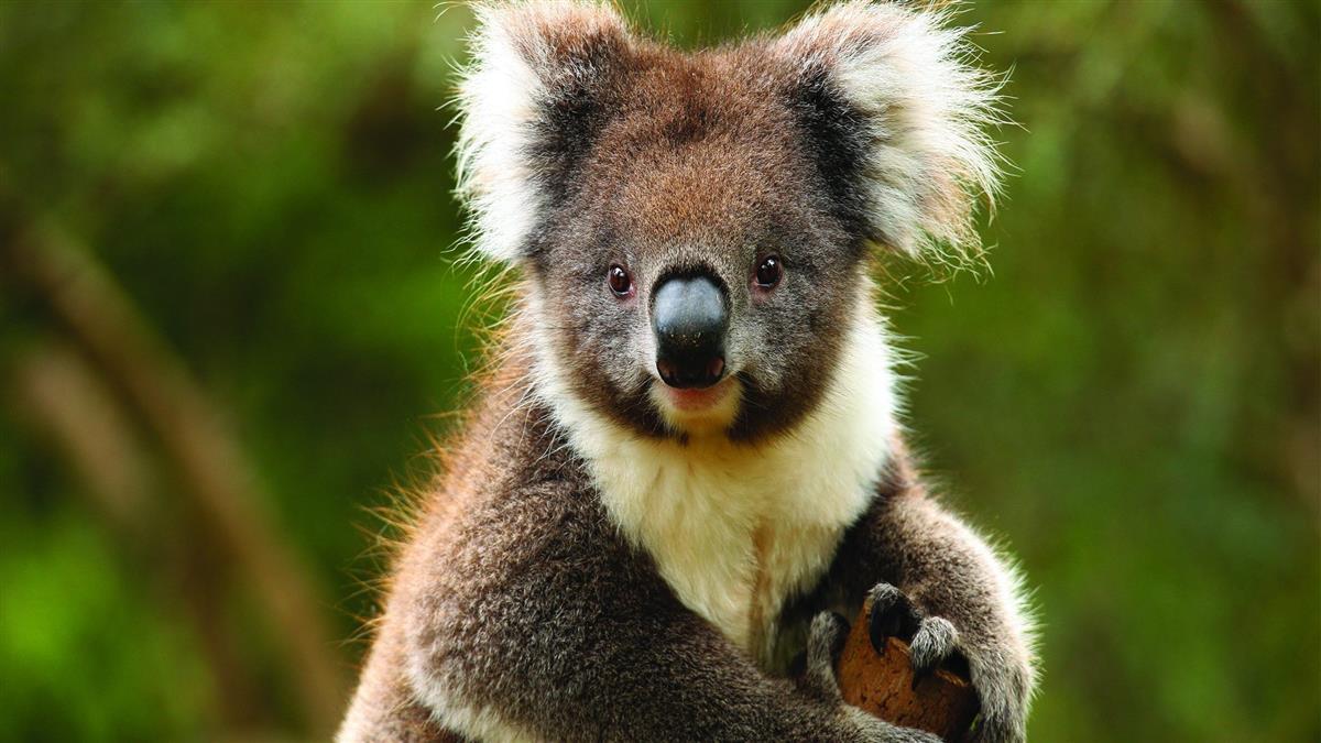 koala-at-healesville-sanctuary