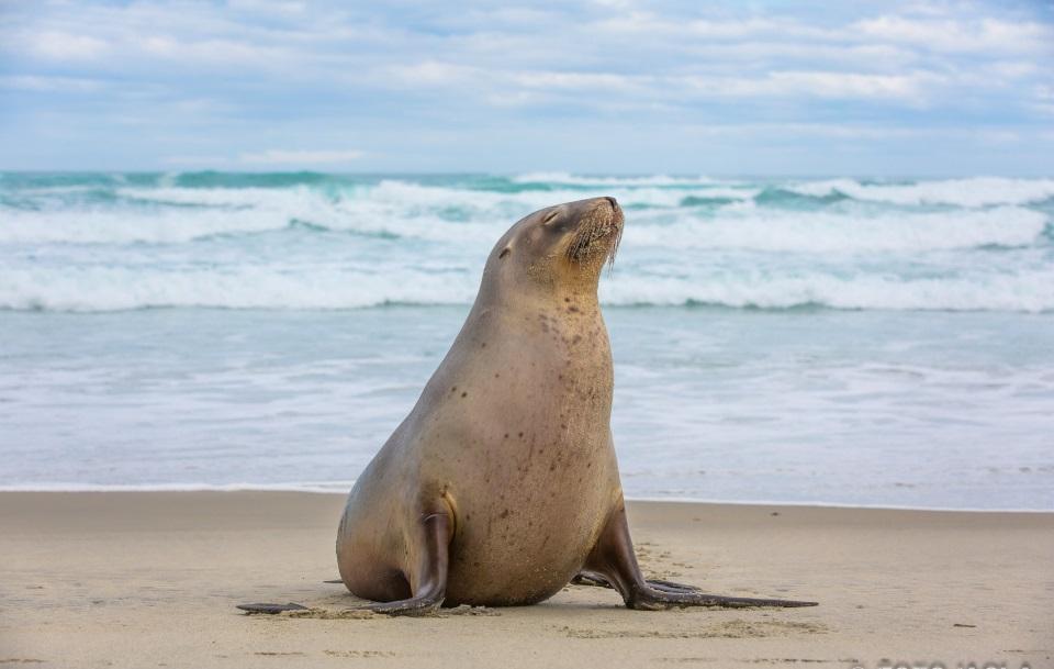 Seal on Allans beach