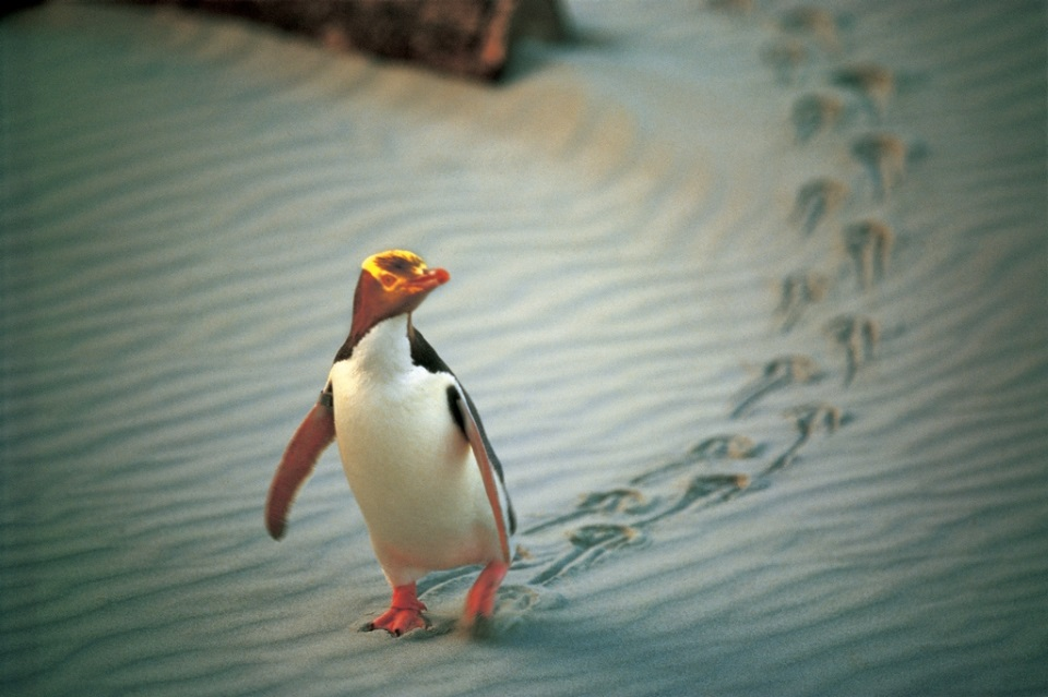 Yellow-eyed penguin at Penguin Place
