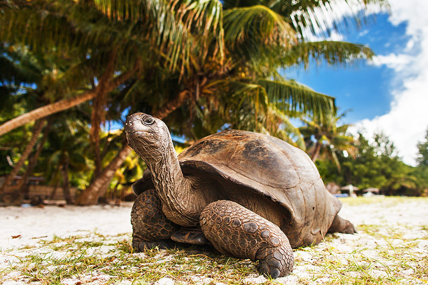 Giant Tortoises are a common sight on the Curieuse island