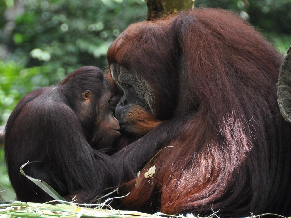 The Orangutans on the River Safari