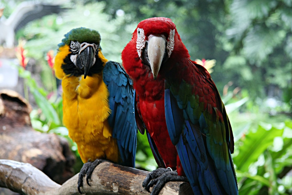 Macaws in Jurong Bird Park