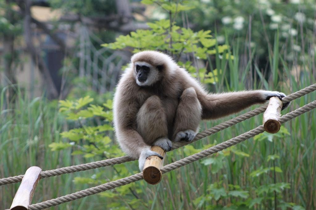 Gibbon park, Chiang Mai