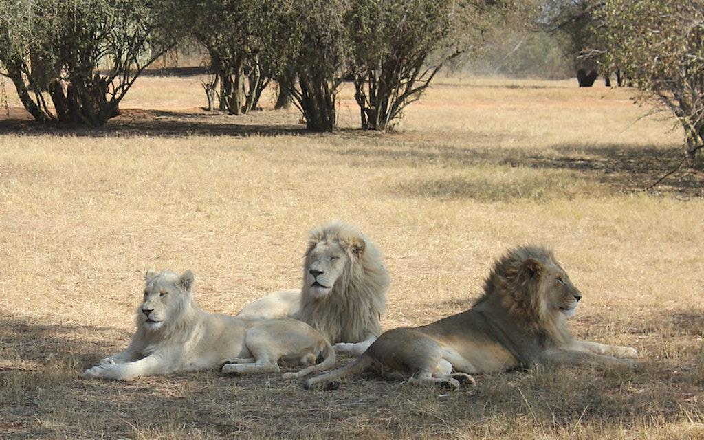 Lion Park, Johannesburg. Gauteng, South Africa