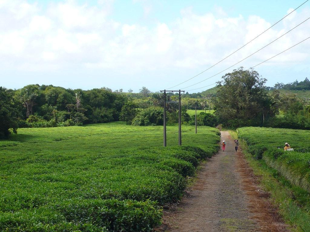 Bois Chéri Plantation (Tea Plantations In Mauritius)