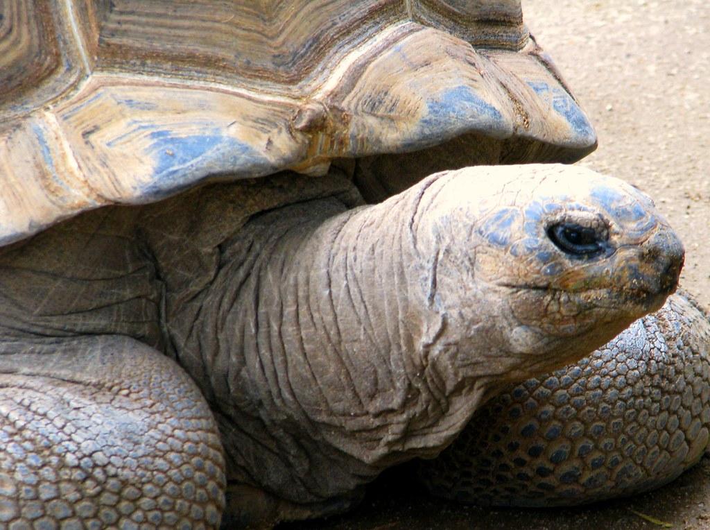 Giant tortoise in Aldabra Atoll