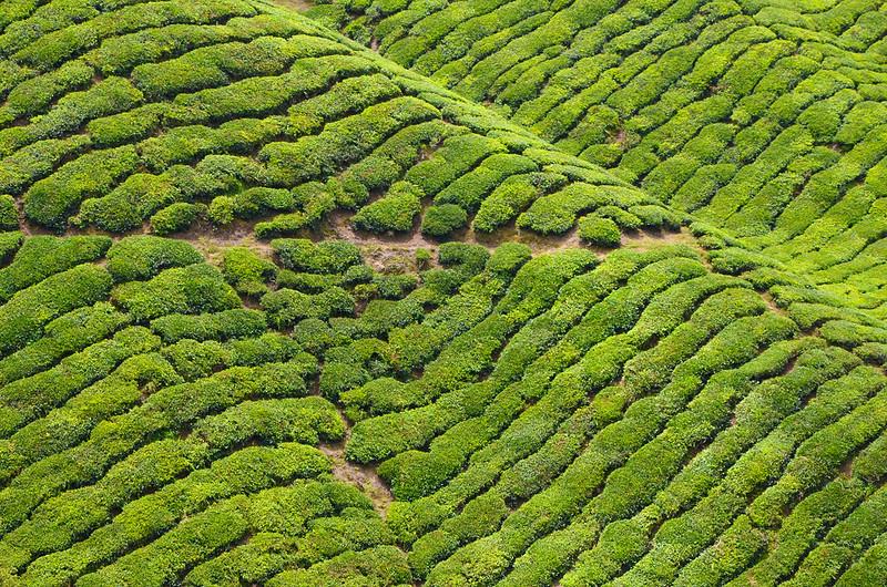 tea garden in assam