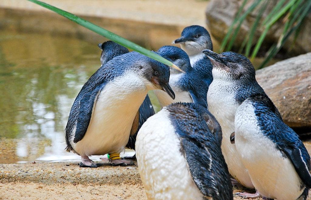 Little Blue Penguins Featherdale Wildlife Park