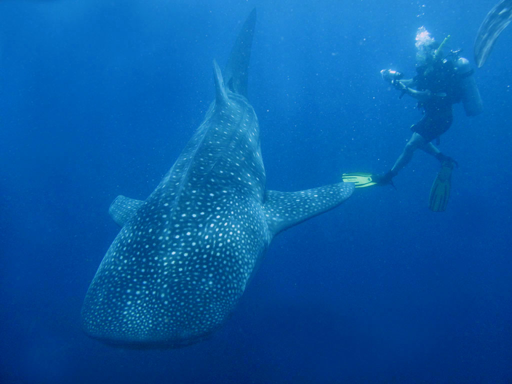 Dive and swim with Whale Sharks.