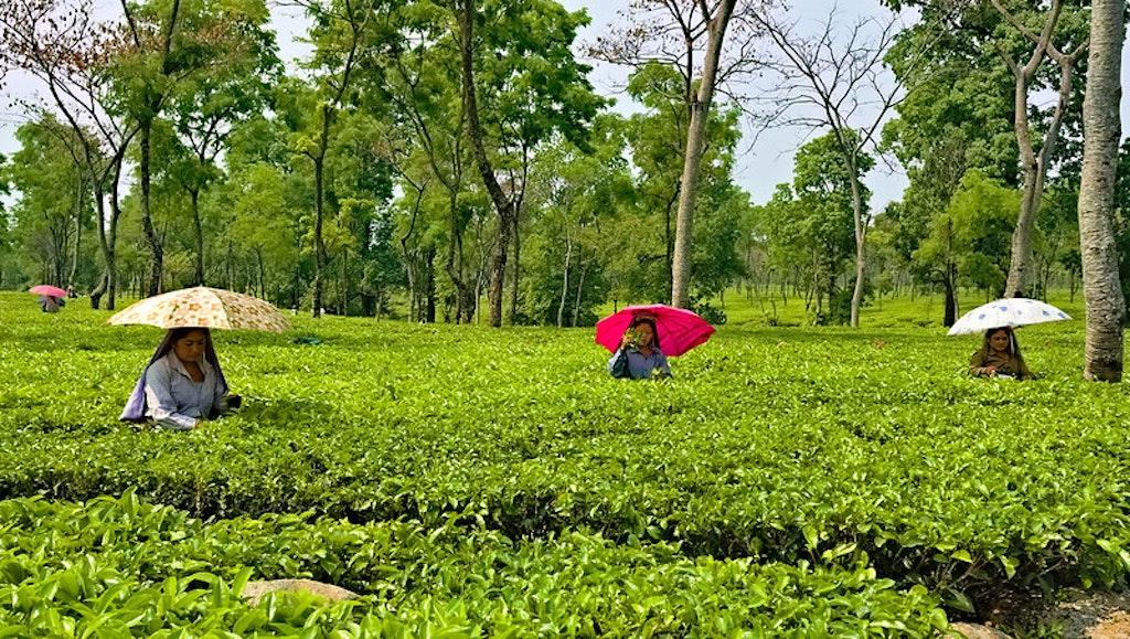 Tea research centre
