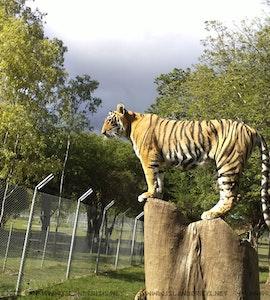 Tiger in Casela Adventure Park