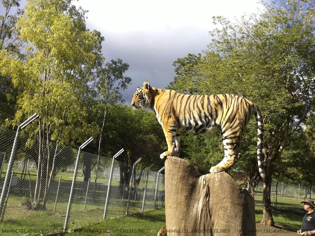 A tiger in Casela Adventure Park