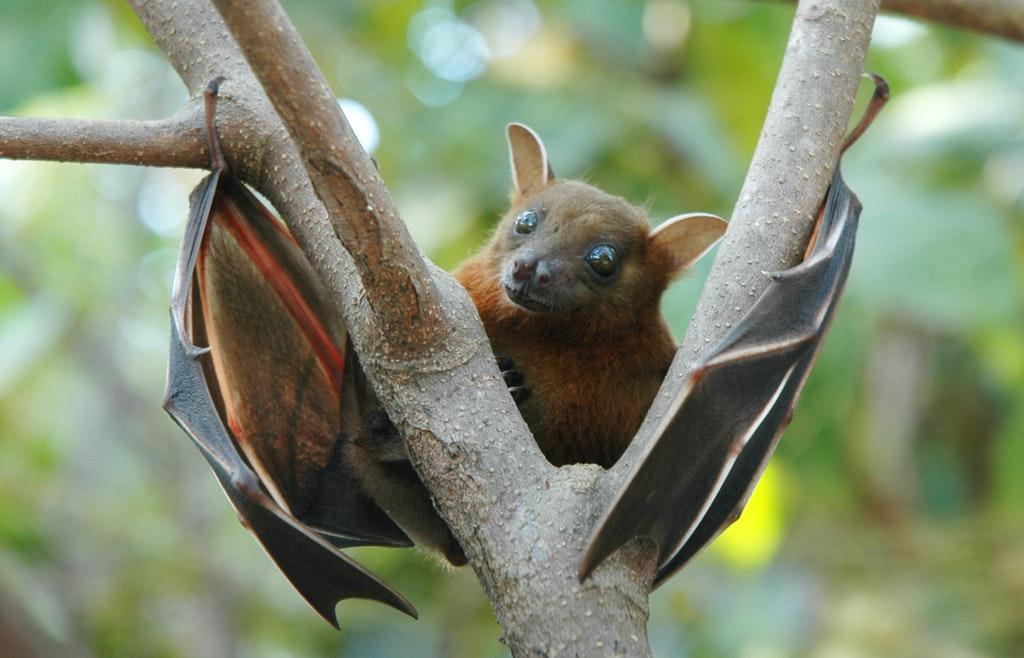 Fruit Bats near the Praslin Museum