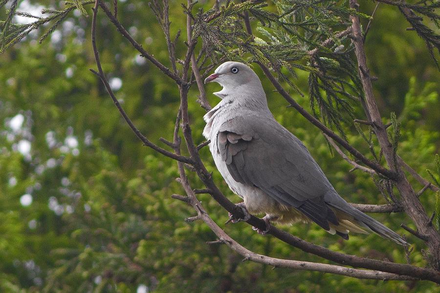 pigeon at Kitam (Bird) Wildlife Sanctuary