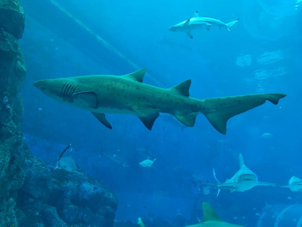 Sharks at SEA Aquarium