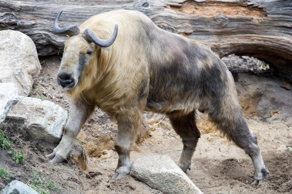The national animal of Bhutan in Thimpu