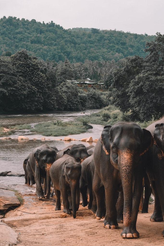 A group of elephants in Sri Lanka