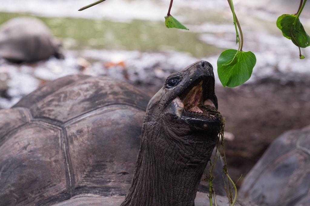 Tortoise in Aldabra