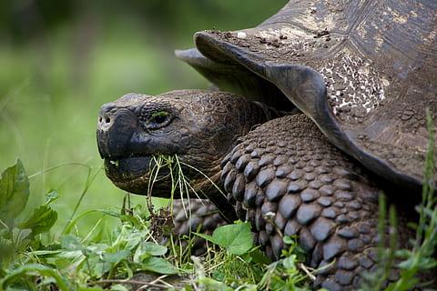 The aldabra tortoises in Curieuse Island