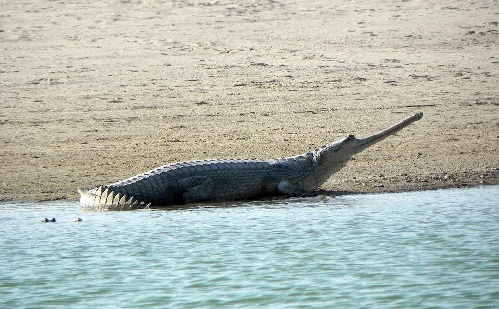 Gharial Crocodile at Chamber river