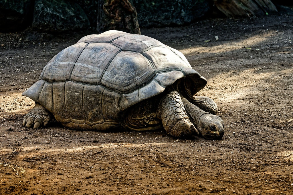 Giant tortoise in Ile Aux