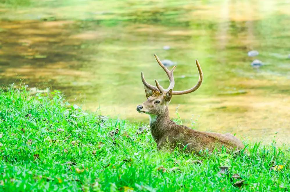 deer at Maenam Wildlife Sanctuary