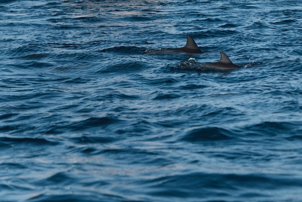 Dolhins in Tamarin Bay