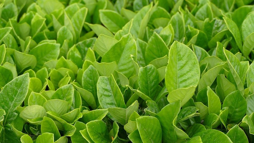 Bois Chéri Tea Mauritius (Tea Plantations In Mauritius)