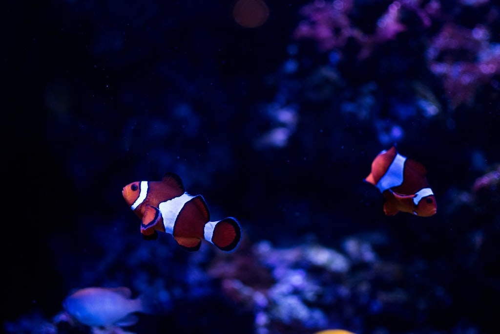 clown fish at two oceans aquarium