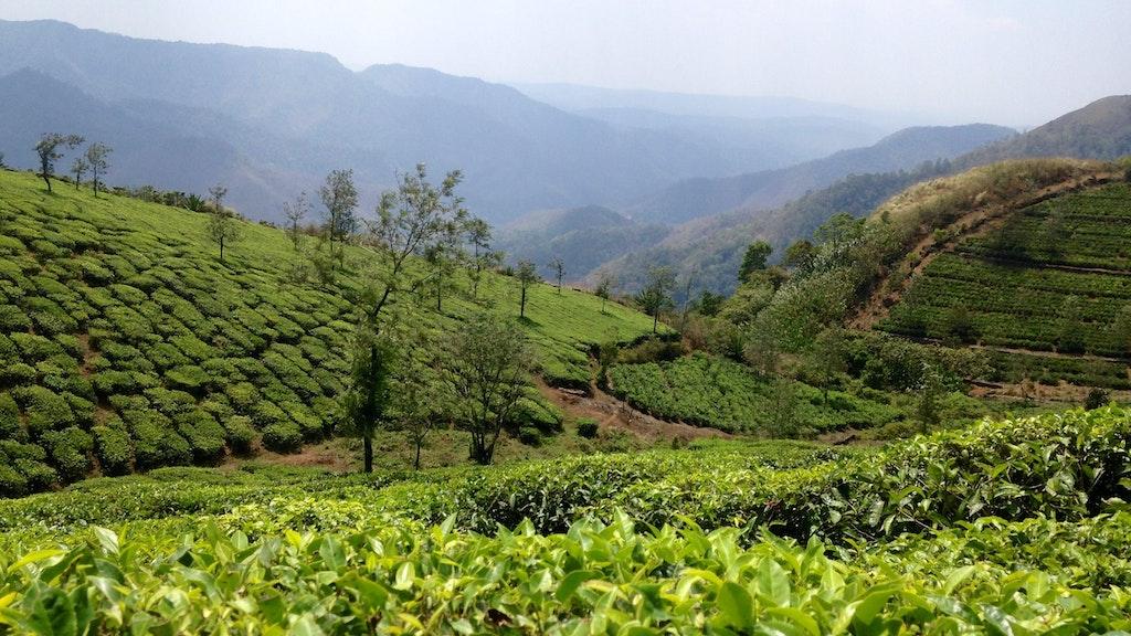 Mangalam Tea Estate