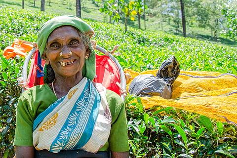 Tea leaves picking lady at the Mackwoods Tea Museum
