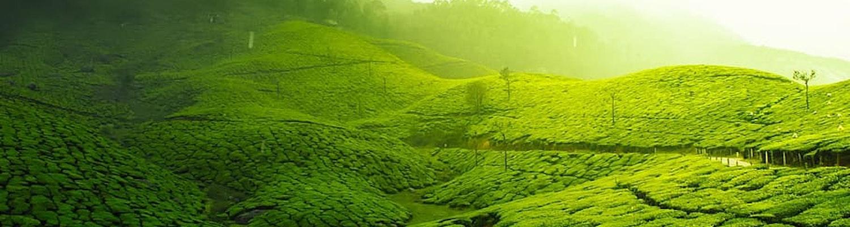 Tea Plantation in Mauritius