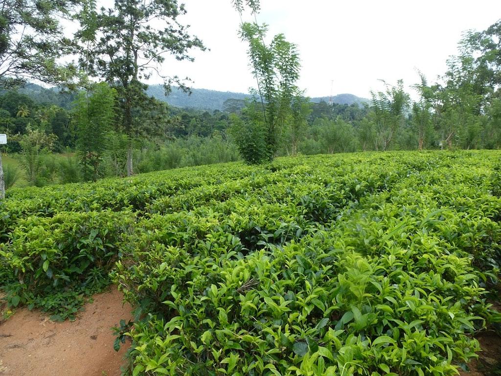Adam's peak Tea Gardens (Tea Estates in Nuwara Eliya)
