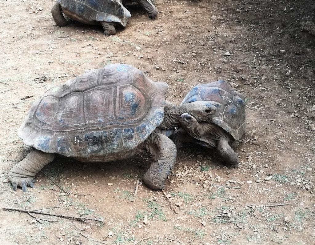 giant tortoises at Francois Leguat