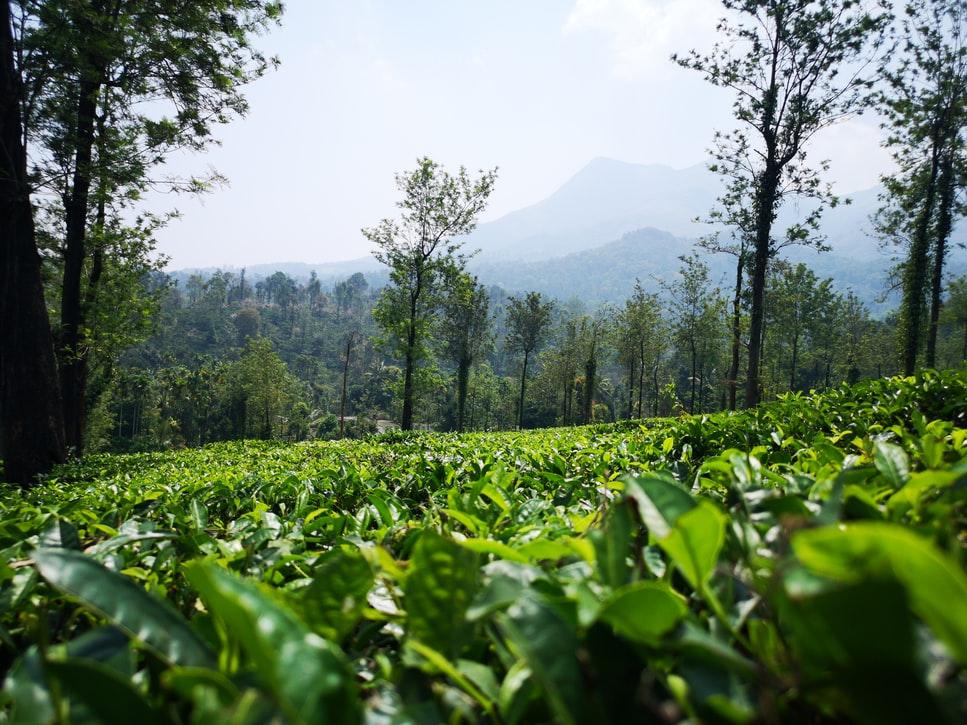 Wayand tea estate