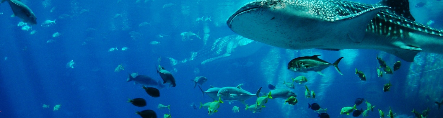 Whale sharks dive in Seychelles