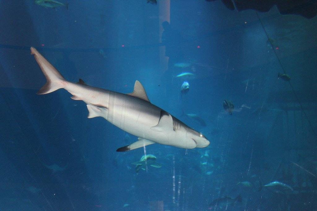 giant shark in the aquarium
