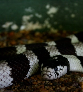A snake in the Snake temple in Penang