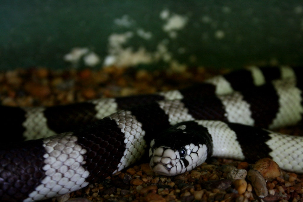 A Snake in the Snake Temple in Penang, Malaysia