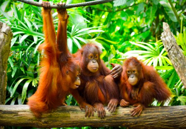 Crocker range forest, orangutans