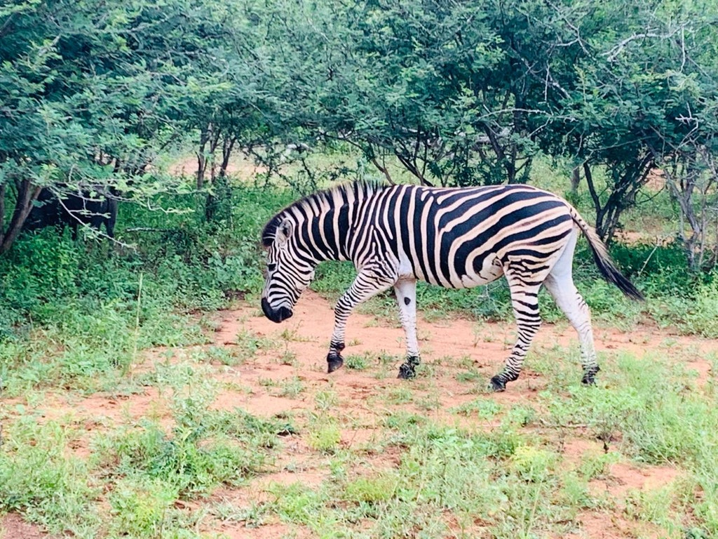 A picture of a Zebra that was taken at the Kruger National Park