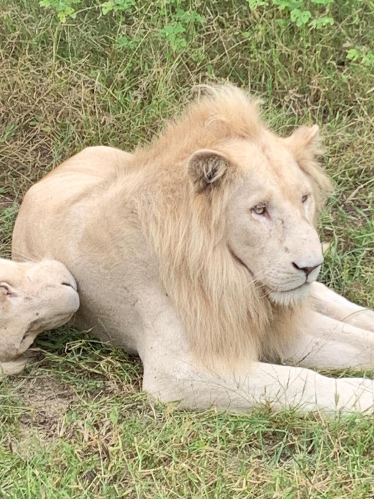 An amazing picture of a white lion in South Africa