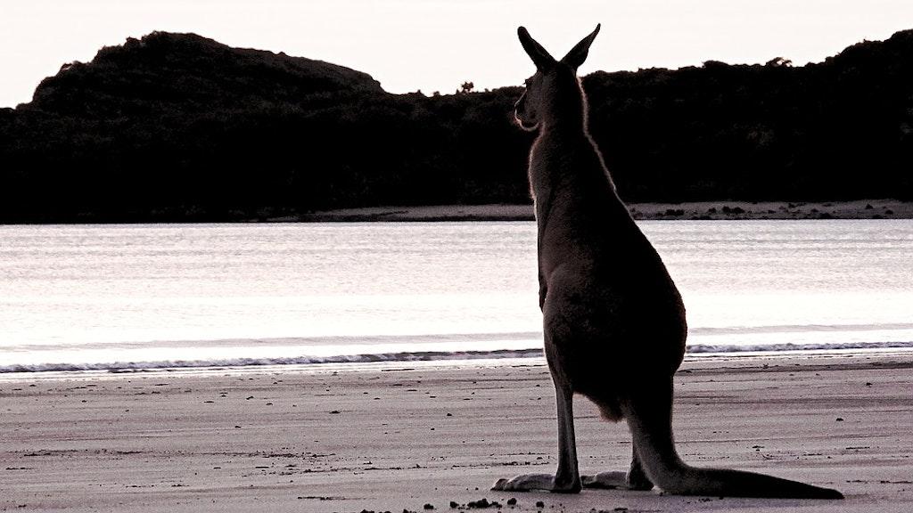 Wallaby in Australian shores