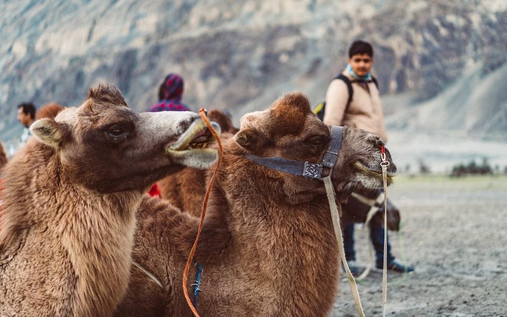 Bactrian Camel ride