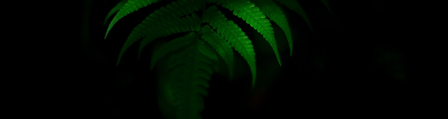 A picture of a leaf that was taken in a dark background in Wayanad