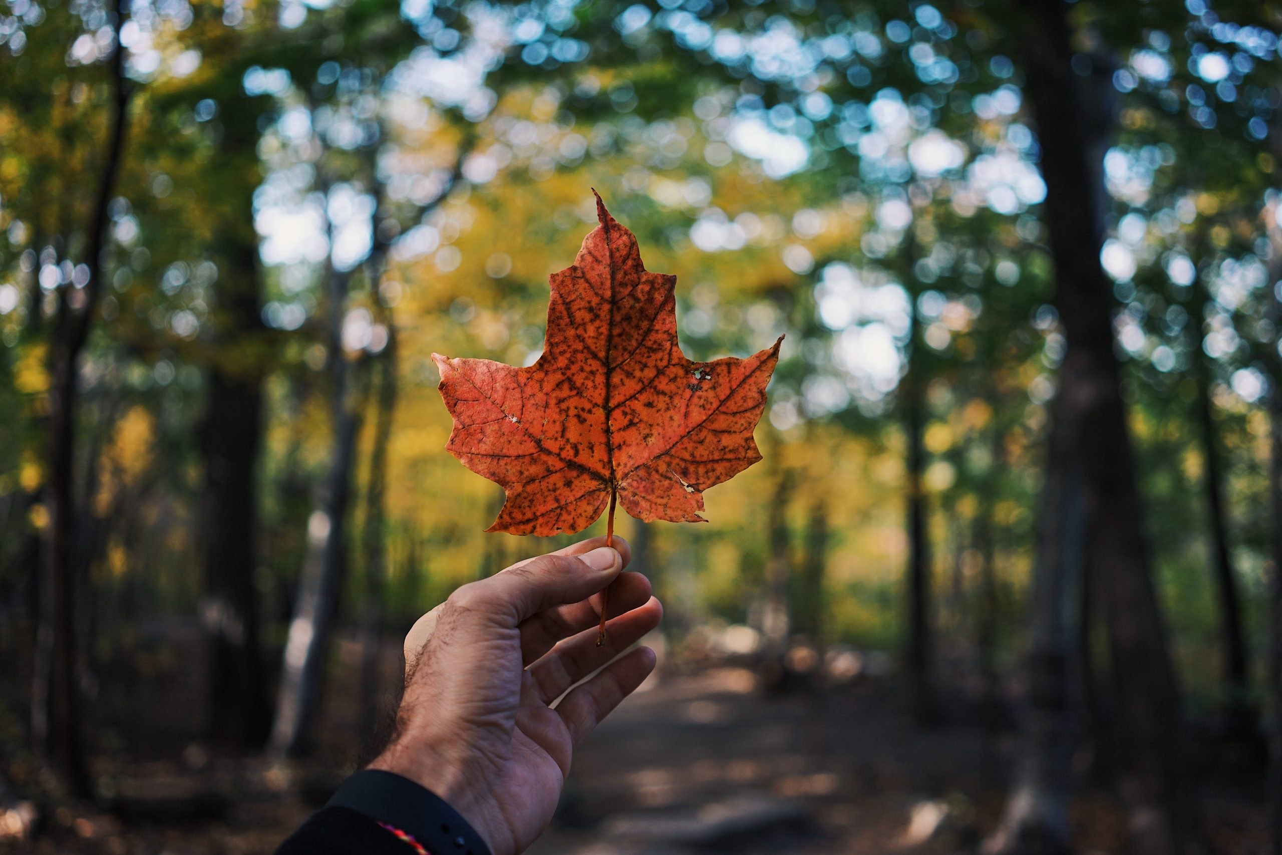 A person holding the Maple leaf, the Symbol of Canada