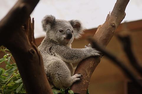 Spotting Koala Bears in the Billabong Sanctuary